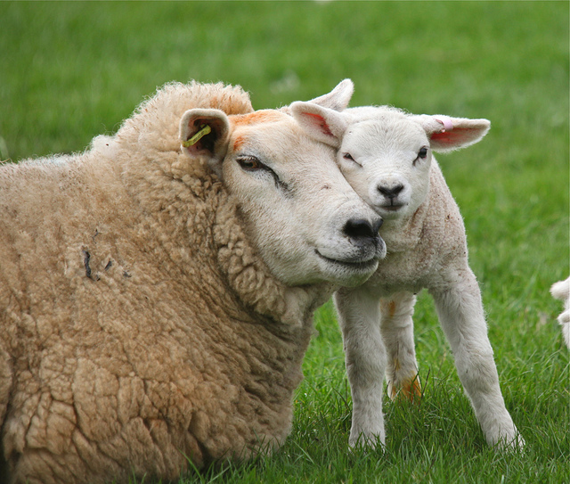 Mother Sheep and Baby - Vegan