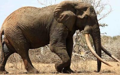 Uno De Los Elefantes Mas Grandes del Mundo…Matado!